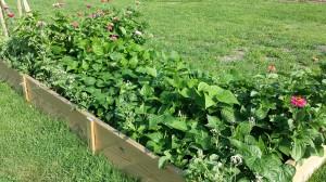 Community Garden Green Beans-Flowers-2014