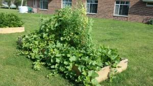 Community Garden Peas Cucumbers-2014