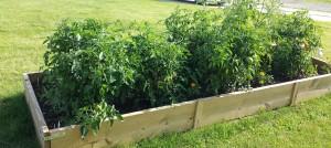 Garden 0614 Tomatoes